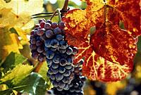 Иммортель - концентрат красного винограда